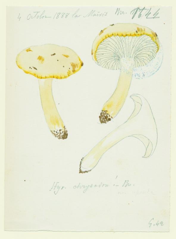 Hygrophore à dents jaune ; champignon