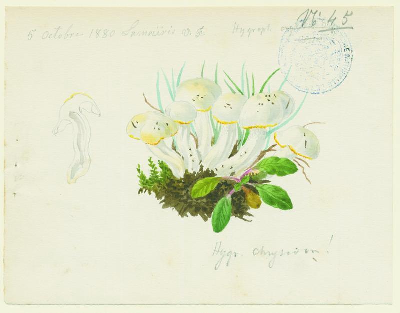 Hygrophore à odeur de (chenille) Cossus ; champignon