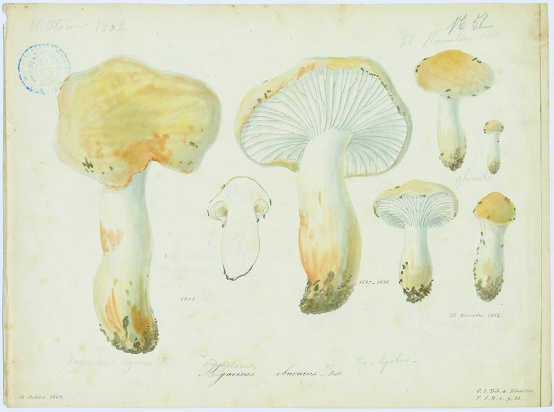 BARLA Jean-Baptiste (attribué à) : Hygrophore blanc ivoire, Eschiglient, champignon
