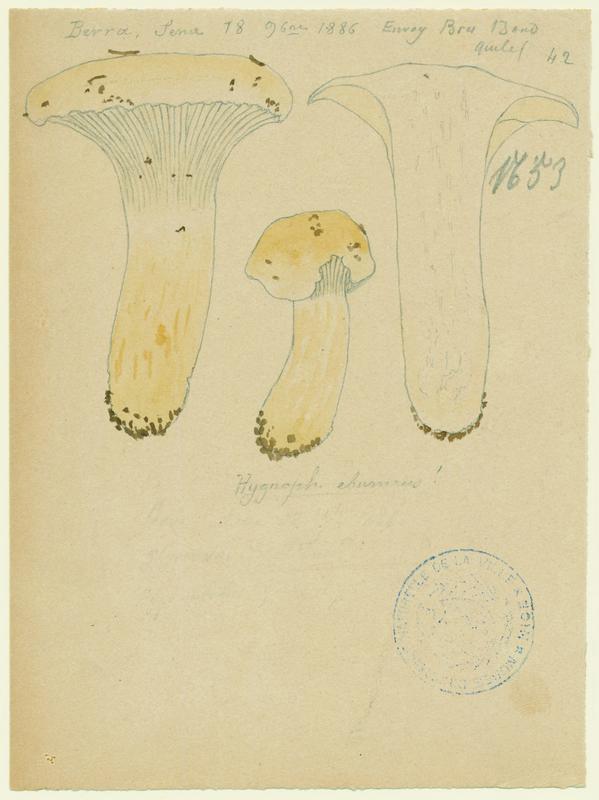 Hygrophore blanc ivoire ; Eschiglient ; champignon_0