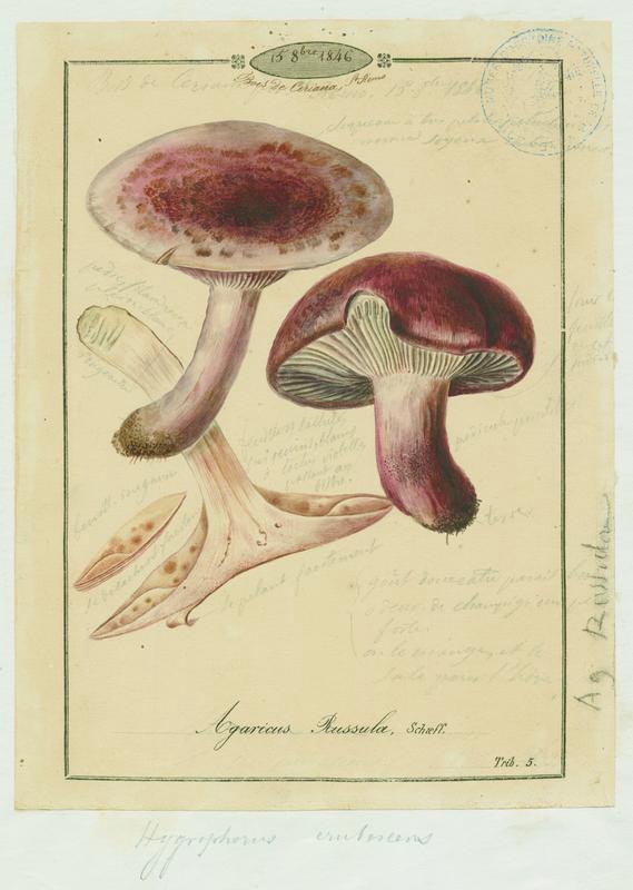 Hygrophore russule ; Roussoun ; champignon_0