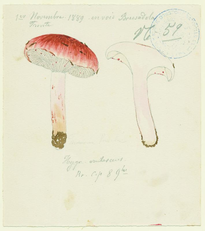 Hygrophore rougissant ; champignon_0