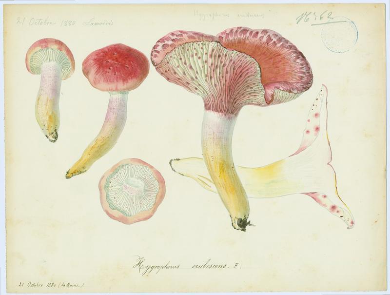 BARLA Jean-Baptiste (attribué à) : Hygrophore rougissant, champignon