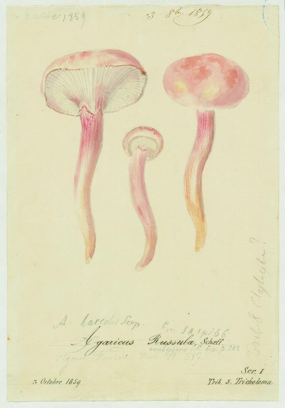 BARLA Jean-Baptiste (attribué à) : Hygrophore russule, Roussoun, champignon