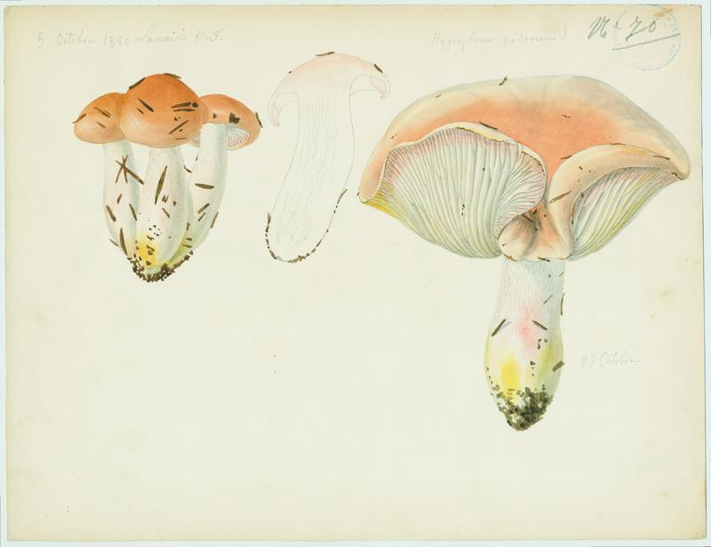 Hygrophore pudibond ; champignon_0