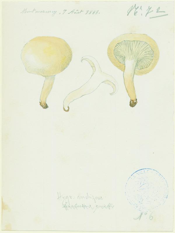 Hygrophore  ; champignon