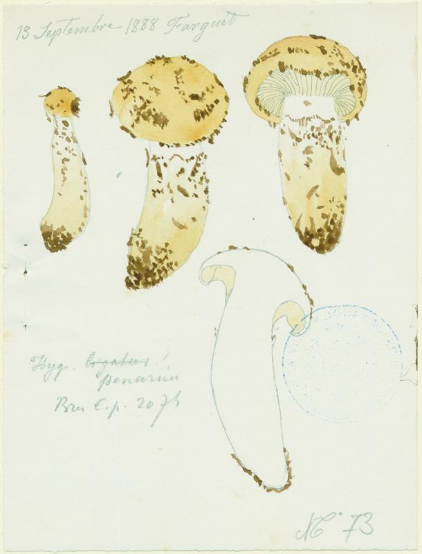 BARLA Jean-Baptiste (attribué à) : Hygrophore , champignon