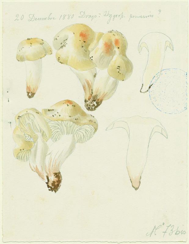 BARLA Jean-Baptiste (attribué à) : Hygrophore comestible, champignon