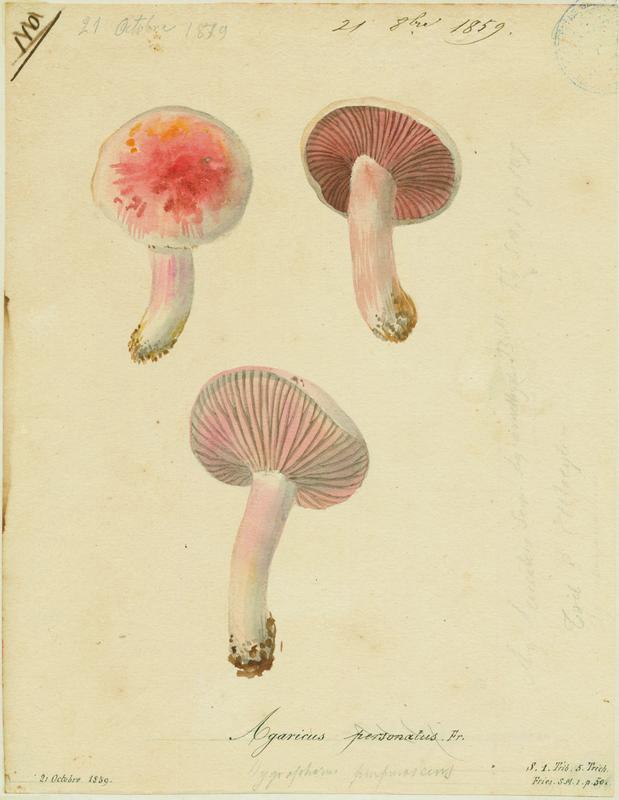 Pied-violet ; Tricholome masqué ; Tricholome sinistre ; Tricholome des oies ; champignon_0