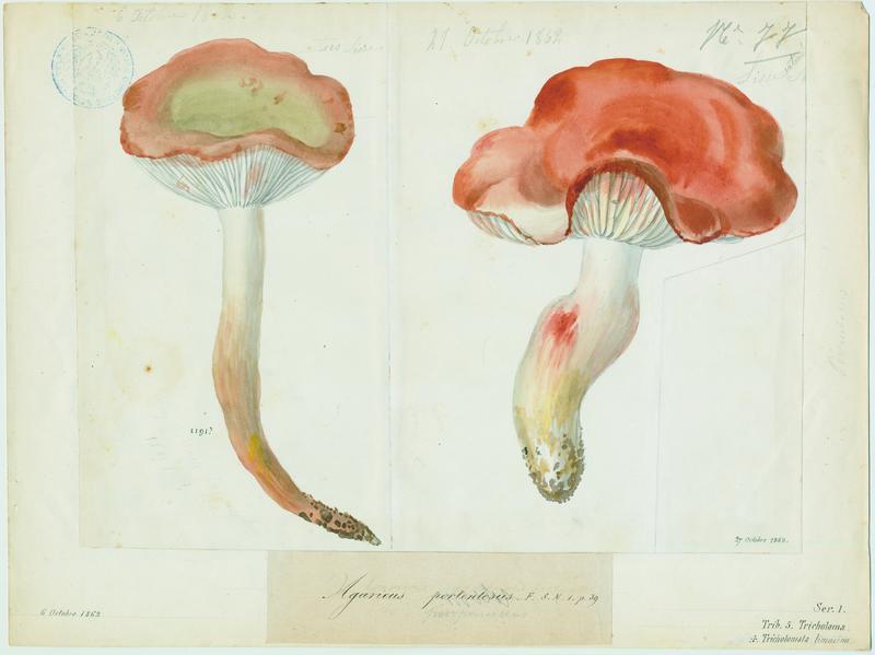 BARLA Jean-Baptiste (attribué à) : Tricholome prétentieux, champignon