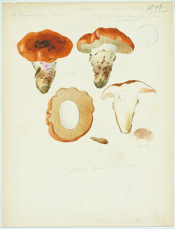 Hygrophore comestible ; champignon_0