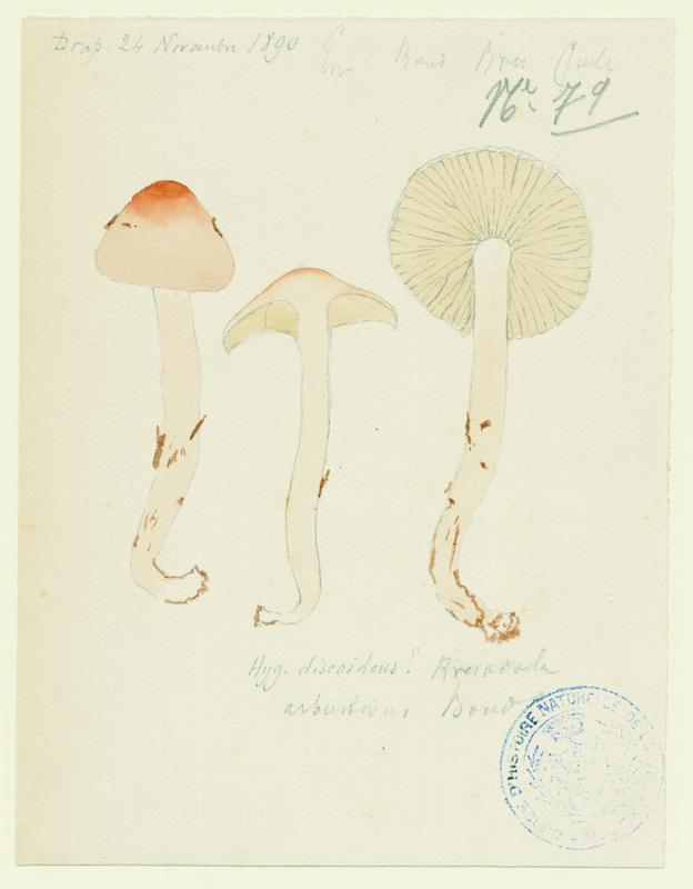 Hygrophore discoïde ; champignon_0