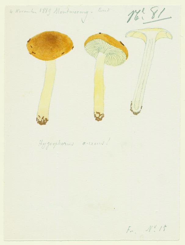 BARLA Jean-Baptiste (attribué à) : Hygrophore doré, champignon