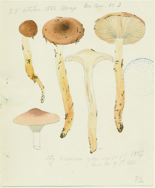 BARLA Jean-Baptiste (attribué à) : Hygrophore discoïde, champignon