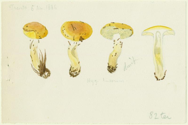 Hygrophores des mélèzes ; champignon