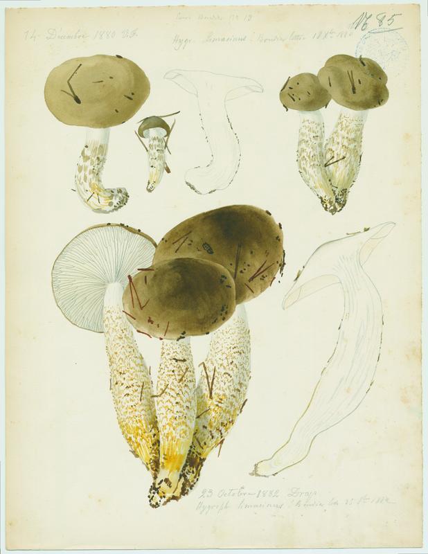 Hygrophore limace ; champignon_0