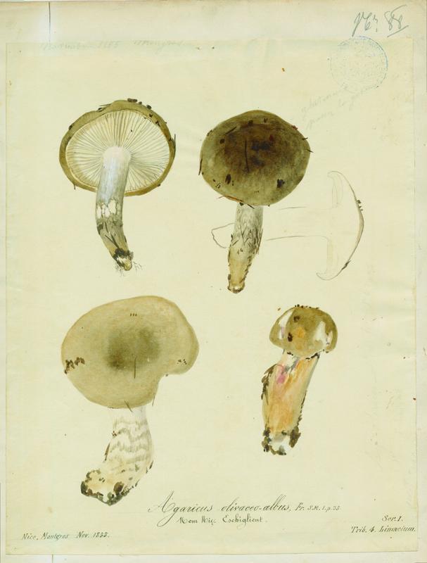 Hygrophore blanc olive ; Lera caniglia ; Eschiglient ; champignon