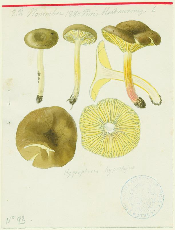 Hygrophore jaunissant ; champignon_0