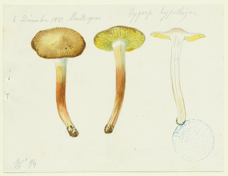 BARLA Jean-Baptiste (attribué à) : Hygrophore jaunissant, champignon