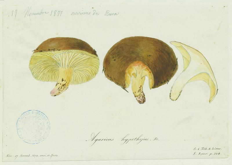 Hygrophore jaunissant ; champignon