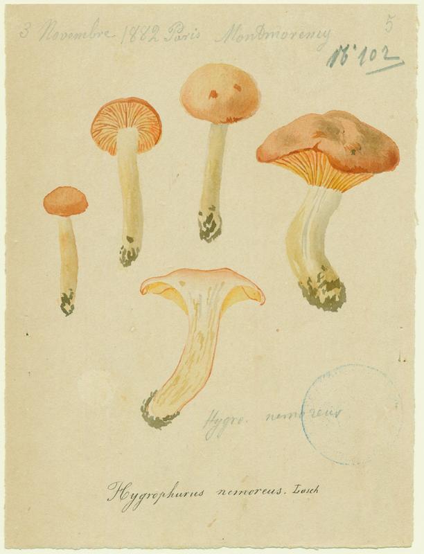 Hygrophore des bois ; champignon_0