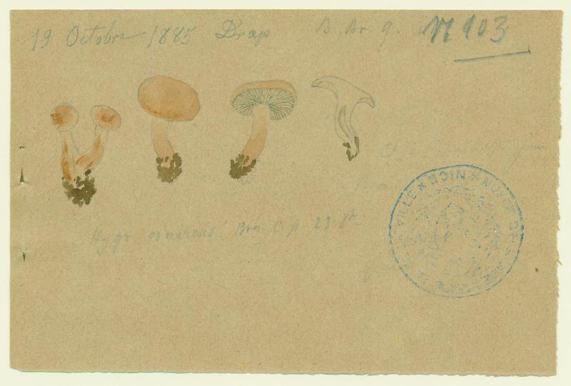BARLA Jean-Baptiste (attribué à) : Hygrophore cendré (?), champignon