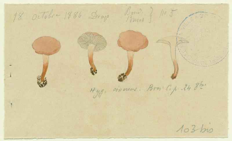 Hygrophore cendré (?) ; champignon_0
