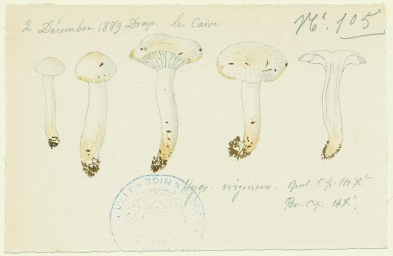 Hygrophore blanc de neige ; champignon_0