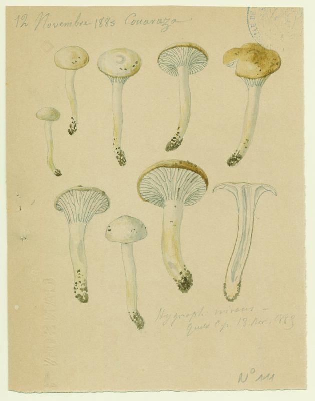 Hygrophore blanc de neige (?)  ; champignon_0