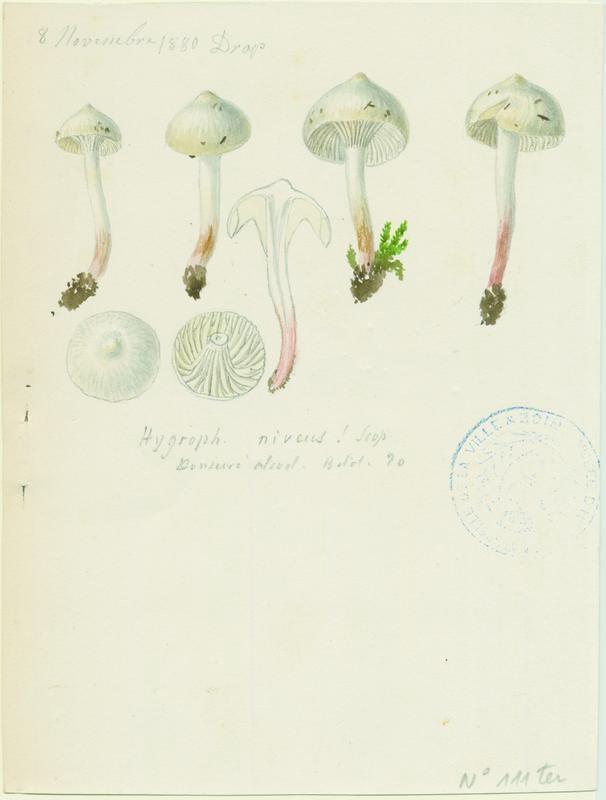 BARLA Jean-Baptiste (attribué à) : Hygrophore blanc de neige (?), champignon