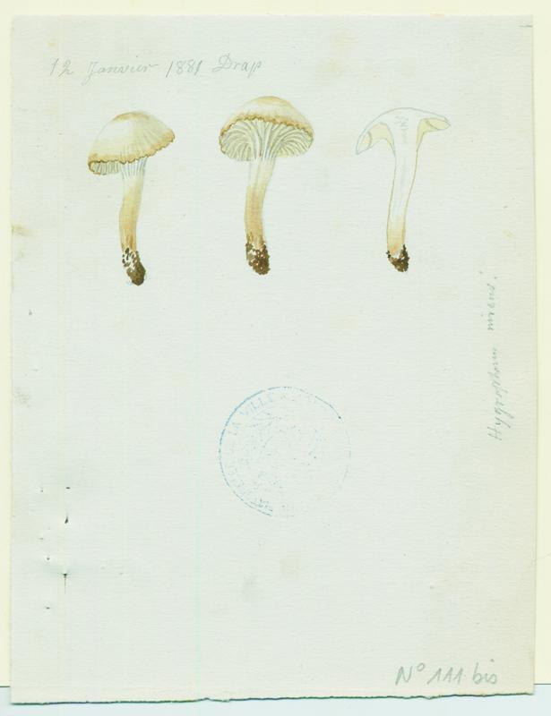 Hygrophore blanc de neige ; champignon