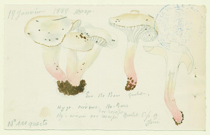 Hygrophore blanc de neige (?) ; champignon