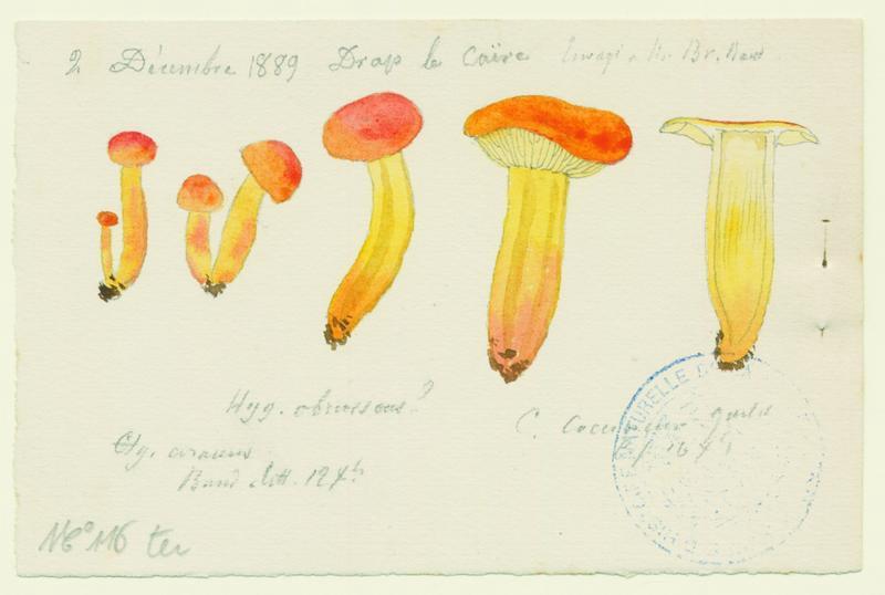 BARLA Jean-Baptiste (attribué à) : Hygrophore, champignon