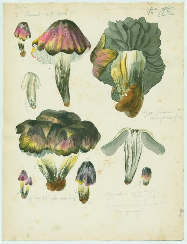 Hygrophore ; champignon_0