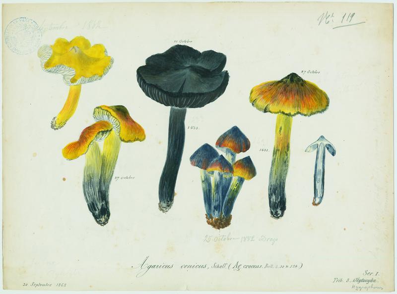 BARLA Jean-Baptiste (attribué à) : Hygrophore conique, champignon