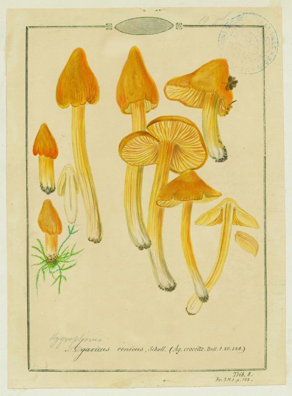 Hygrophore conique ; champignon