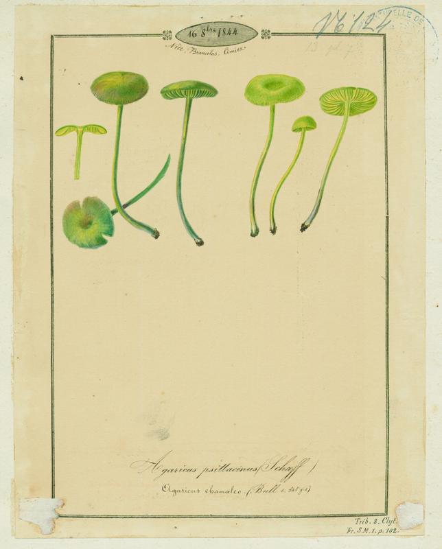 Hygrophore perroquet ; champignon