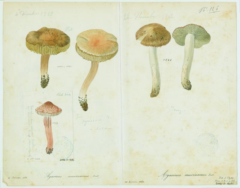 Hygrocybe ; champignon_0