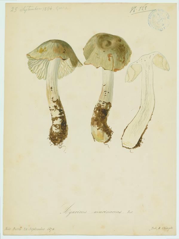 Hygrocybe ; champignon