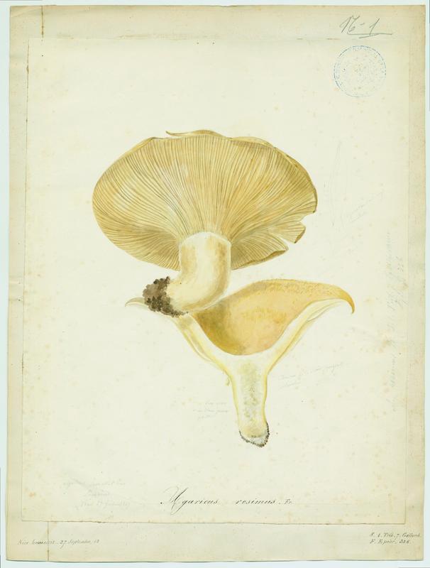 BARLA Jean-Baptiste (attribué à) : Lactaire recourbé, champignon