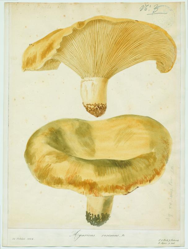Lactaire recourbé ; champignon_0