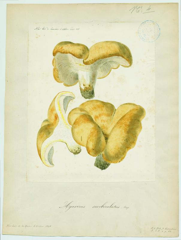 FOSSAT Vincent (aquarelliste, peintre) : Lactaire à fossettes, champignon