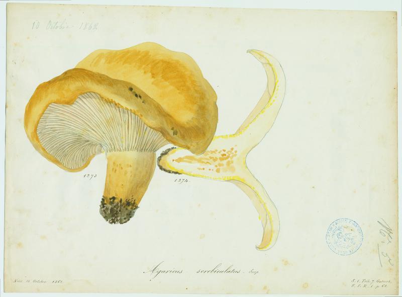 BARLA Jean-Baptiste (attribué à) : Lactaire à fossettes, champignon