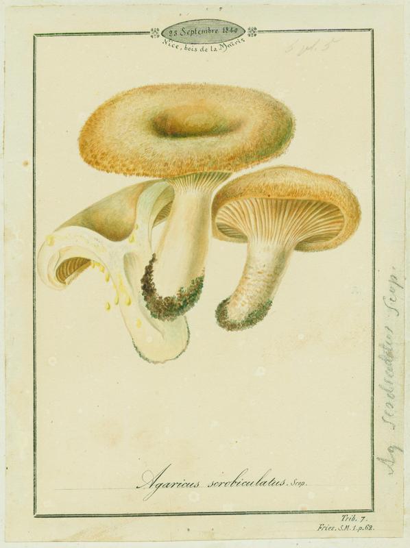Lactaire à fossettes ; champignon_0