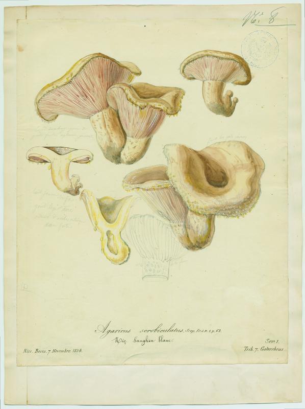 Lactaire à fossettes ; Sanghin blanc ; champignon_0