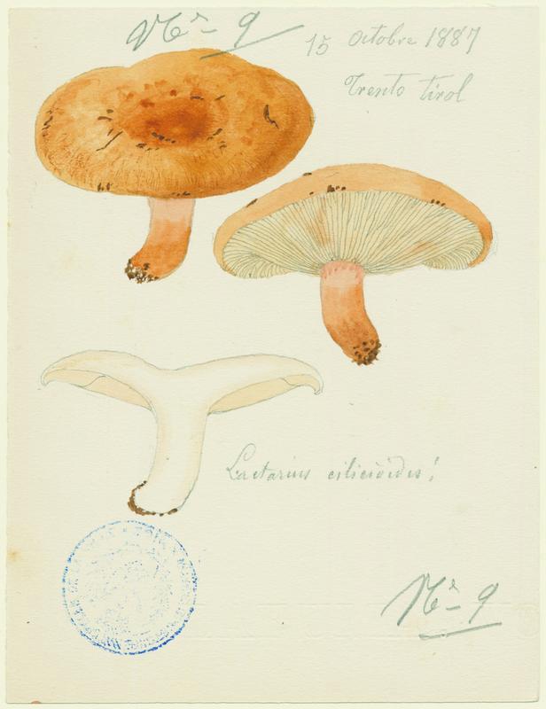 BARLA Jean-Baptiste (attribué à) : Lactaire, champignon