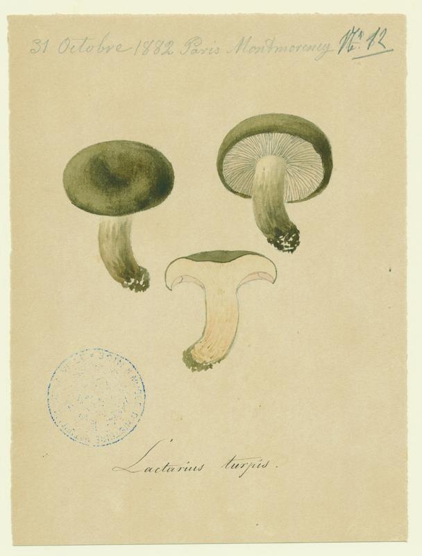 Lactaire plombé ; champignon_0