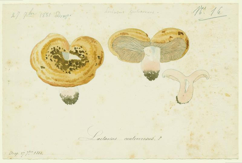 Lactaire des peupliers ; champignon_0