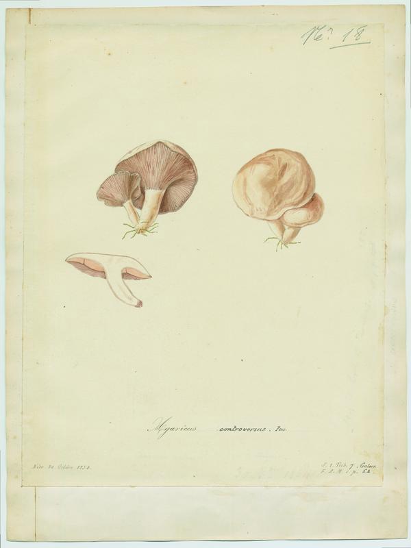 BARLA Jean-Baptiste (attribué à) : Lactaire des peupliers, champignon