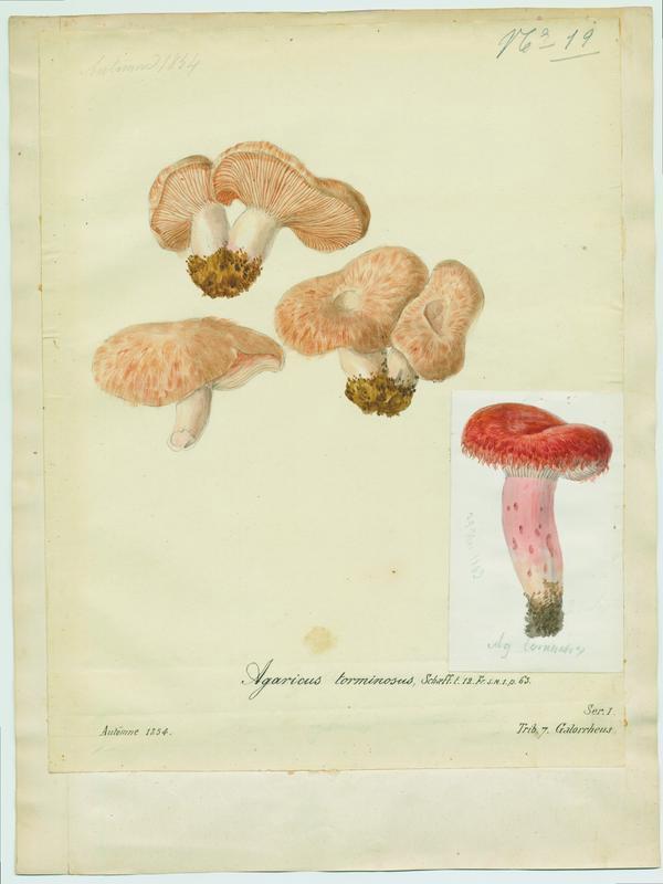 Lactaire à toison ; champignon_0